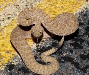 Prairie Rattlesnake, Tom Spinker