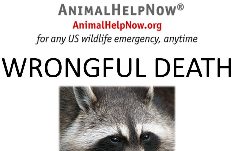 Wrongful Death: Raccoon killed in Fitchburg, WI