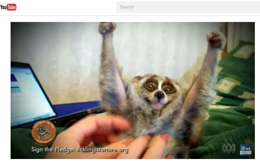 "A loris being tortured. Click image for associated ABC News feature, including expert commentary on ""cute"" animal videos."