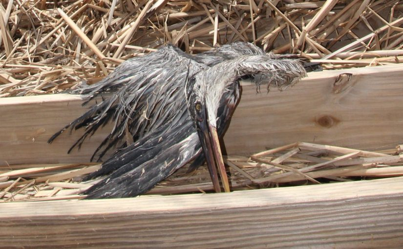 Great blue heron killed in wetlands.
