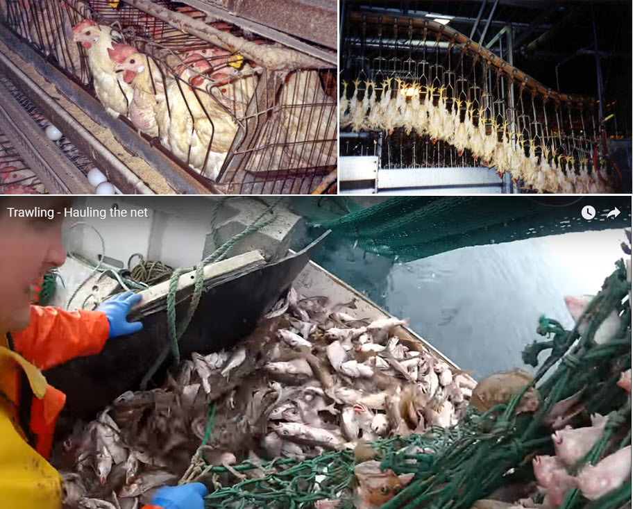 Chickens and fish suffer tremendously.