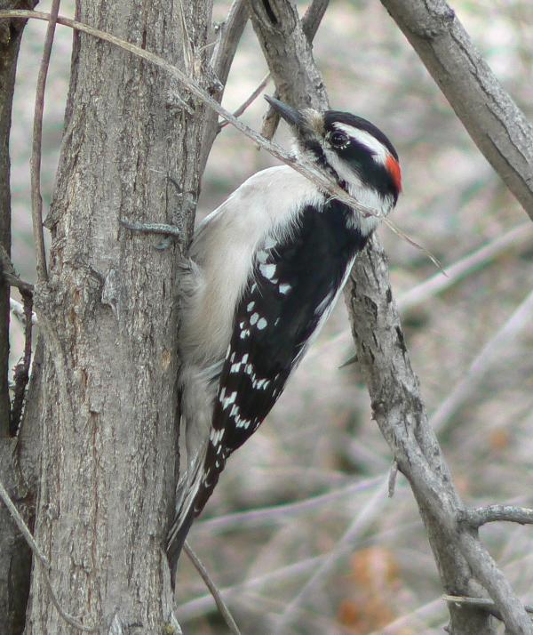 Woodpecker, dead tree (snag)