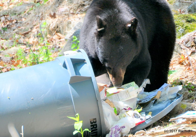 Bear rummaging through garbage left out.