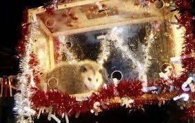 Opossum in plexiglass box, suspended above crowd.