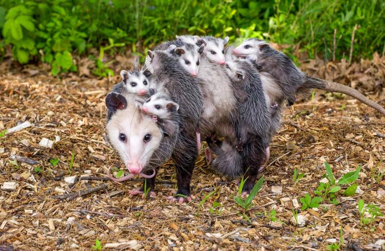 Opossum mom with babies along for the ride
