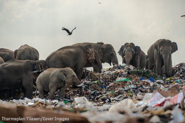 Photo of herd of elephants rummaging through mound of trash.
